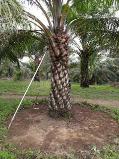 http://www.distributorpupuknasa.com/2019/02/pupuk-perangsang-buah-kelapa-sawit.html