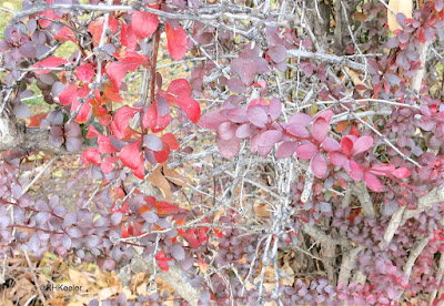 barberry leaves