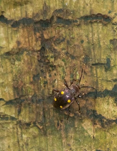 Fungus Beetle (Eumorphus tetraspilotus)