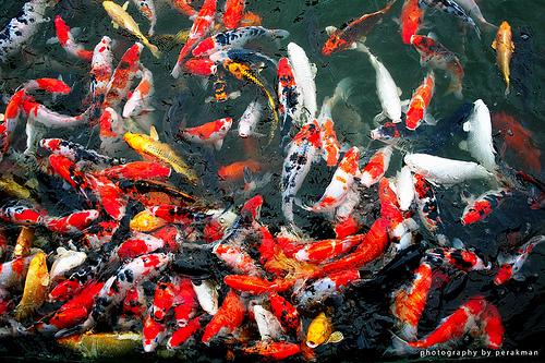 Ikan Koi Di Malang