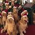 ΠΟΙΟΣ ΕΙΝΑΙ Ο ΑΛΗΘΙΝΟΣ; Χριστουγεννιάτικοι σκύλοι...