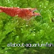 All About Aquarium Fish: Breeding Ornamental Dwarf Shrimps and General Tank Setup