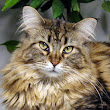 The Maine Coon Revolution Newsletter