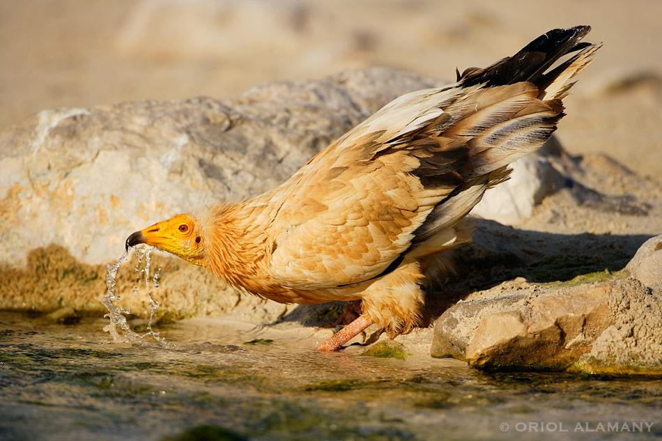 Alimoche bebiendo agua Isla de Socotra Yemen
