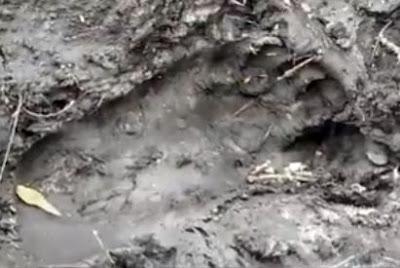 Skunk Ape Track