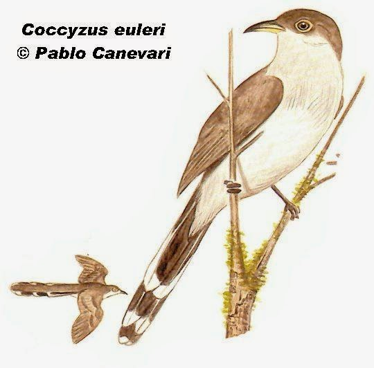 Pearly breasted Cuckoo