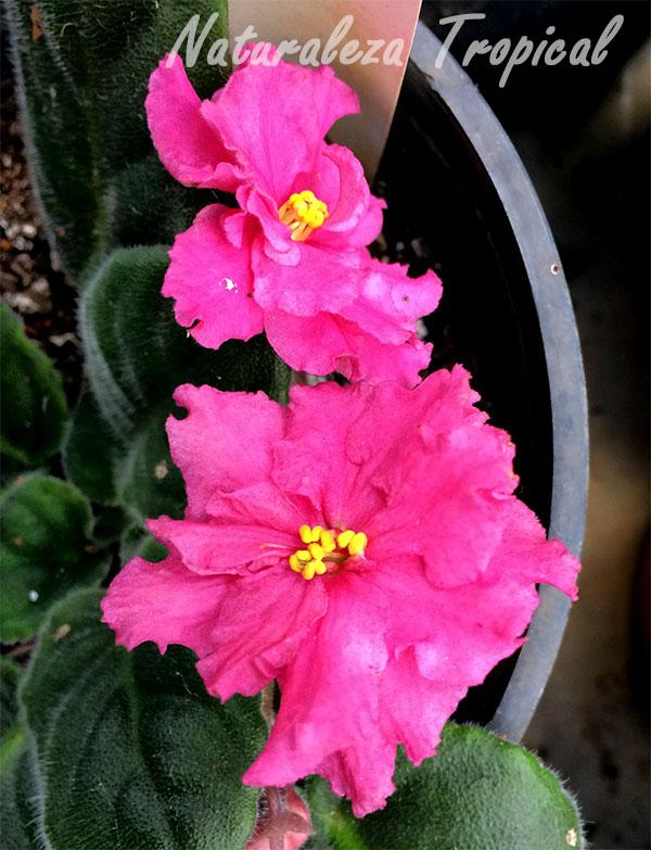 Variedad de flores grandes rosadas de la violeta africana, género Saintpaulia