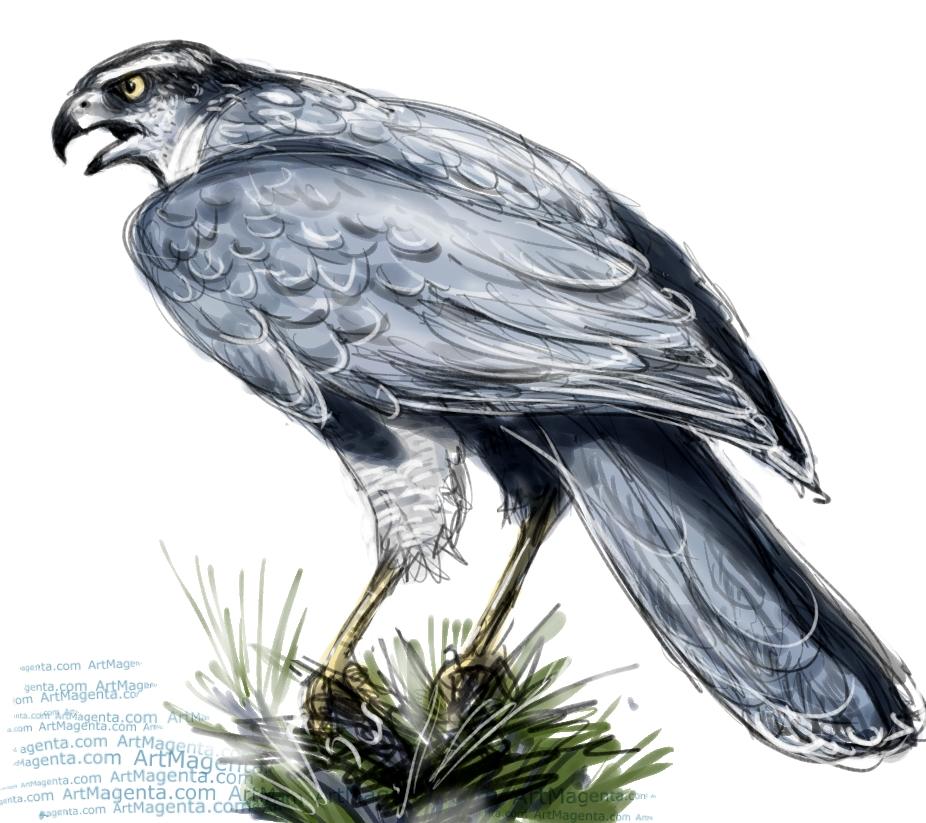 Northern Goshawk  sketch painting. Bird art drawing by illustrator Artmagenta