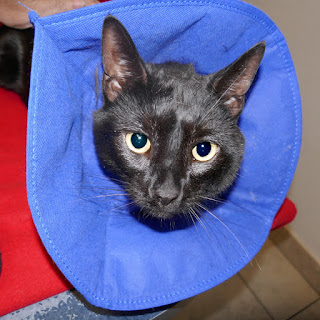 Doctor Pyewacket, the cat, in a blue medical collar