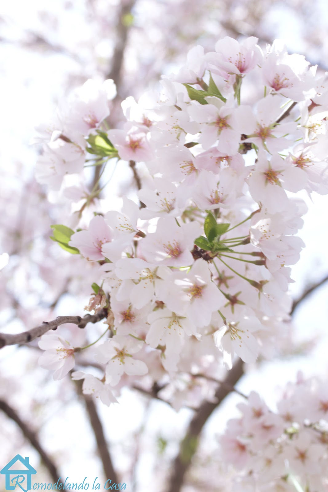 light pink blossoms in full bloom - DC