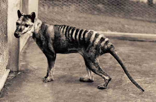 Tasmanian Tiger Thylacine