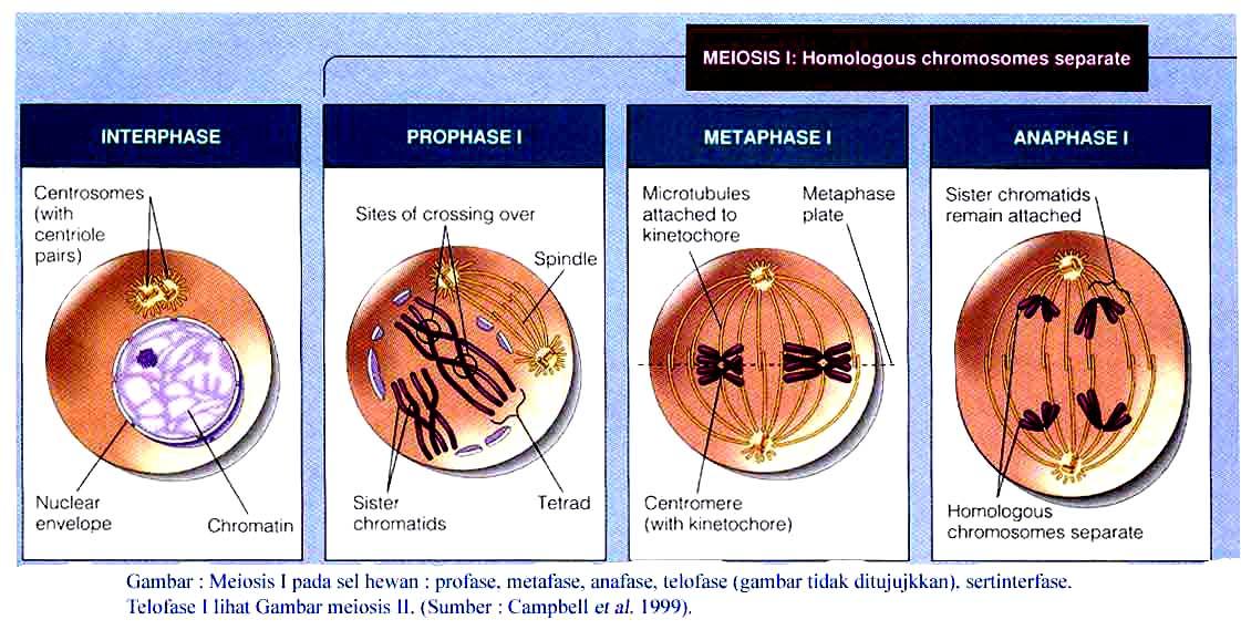 De Biology Tahap Pembelahan Sel Secara Meiosis Pembelahan Reduktif