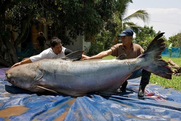 10 Ikan Terberat Dan Paling Besar Pernah Ditangkap