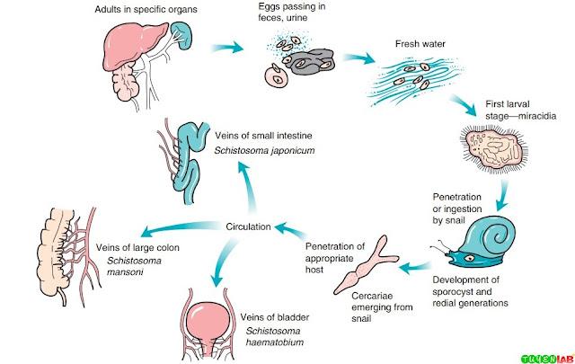 Life cycle of blood flukes (Schistosoma spp.).