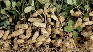gambar buah kacang tanah