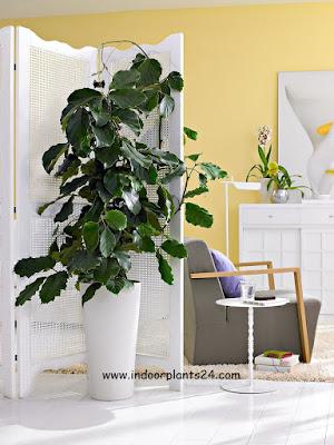 tetrastigma rafflesia house plant information