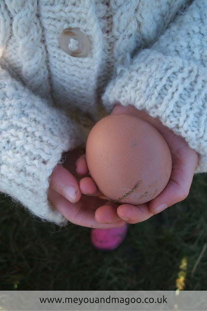 young child cradles freshly laid egg from allotment chickens