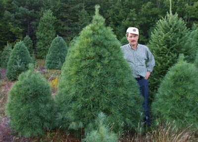 We have any size Christmas Tree you might need, shipped from Nova Scotia to you.