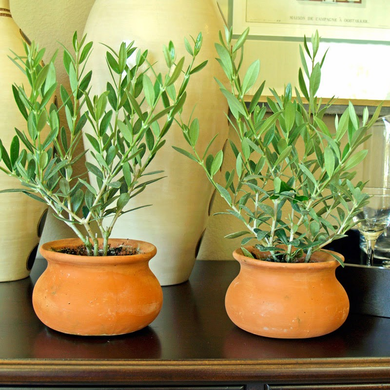 young pot grown olive plants