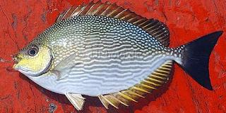 ikan baronang
