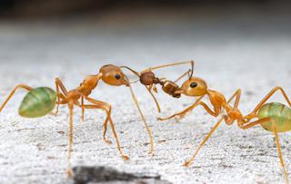 Mencegah Kematian Semut Rangrang Dalam Budidaya Kroto