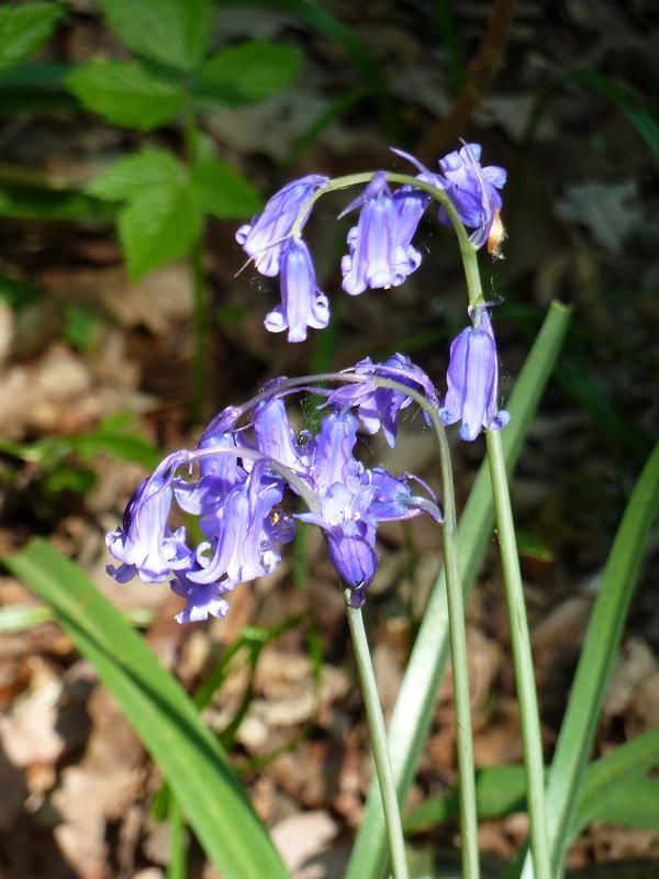 what is the difference between english and spanish bluebells