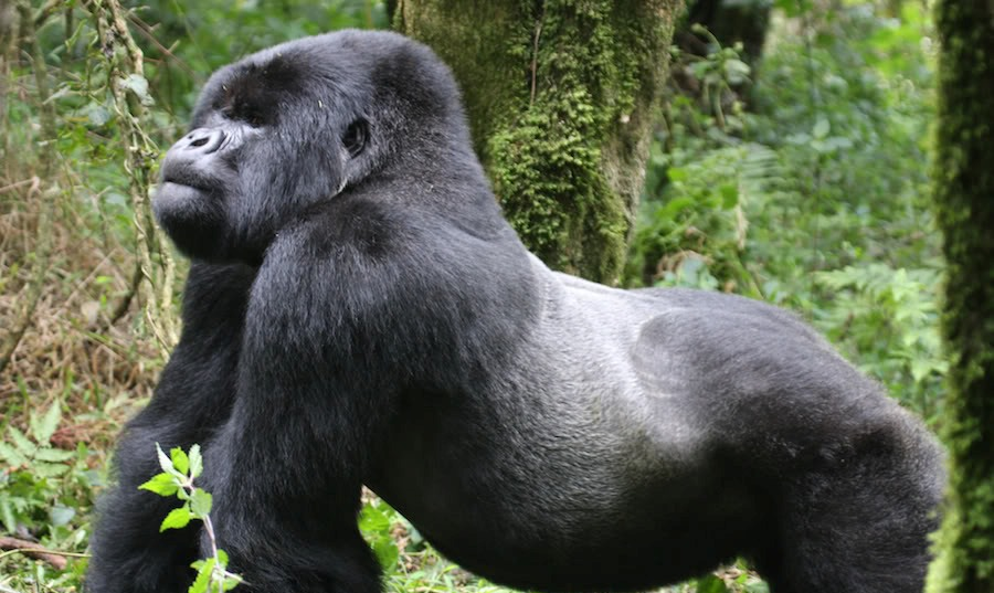 Silverback gorilla from Rwanda Volcanoes National Park.