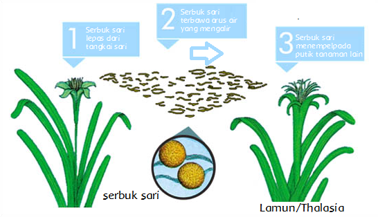 Perkembangbiakan Tumbuhan Dengan Bunga Halaman 6 Belajar Kurikulum 2013