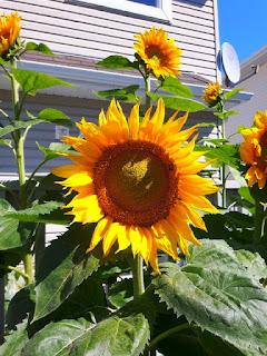cara-menanam-bunga-matahari.jpg