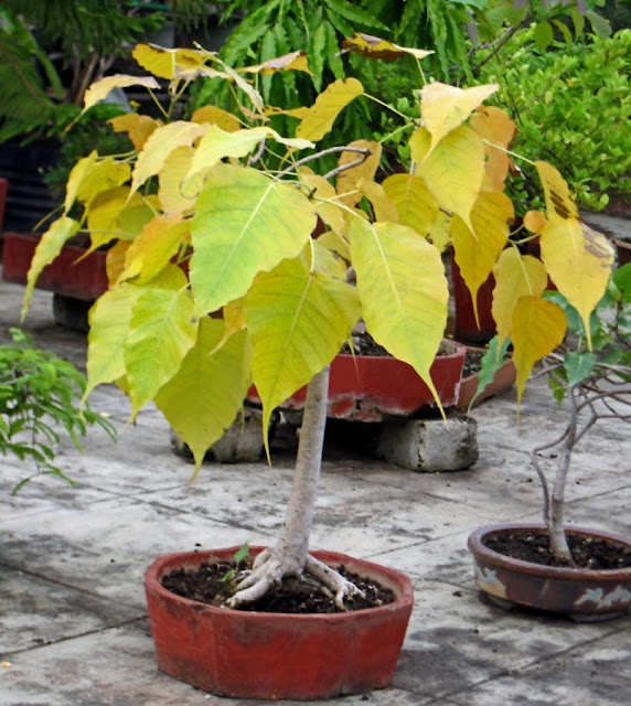 Peepal Tree bonsai