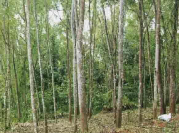 Kayu Akasia  Acacia Mangium   UD AURELIA SANJAYA devisi
