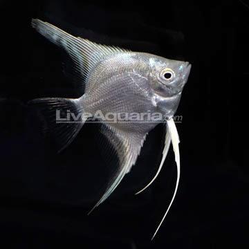 Dunia Ikan Hias - Platinum Manfish