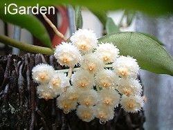 巧工細琢-毬蘭 - 園藝部落格:iGarden 花寶愛花園園藝文摘Plus
