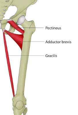 Insertion Anatomy of Pubic Rami Diagram  - El Paso Chiropractor