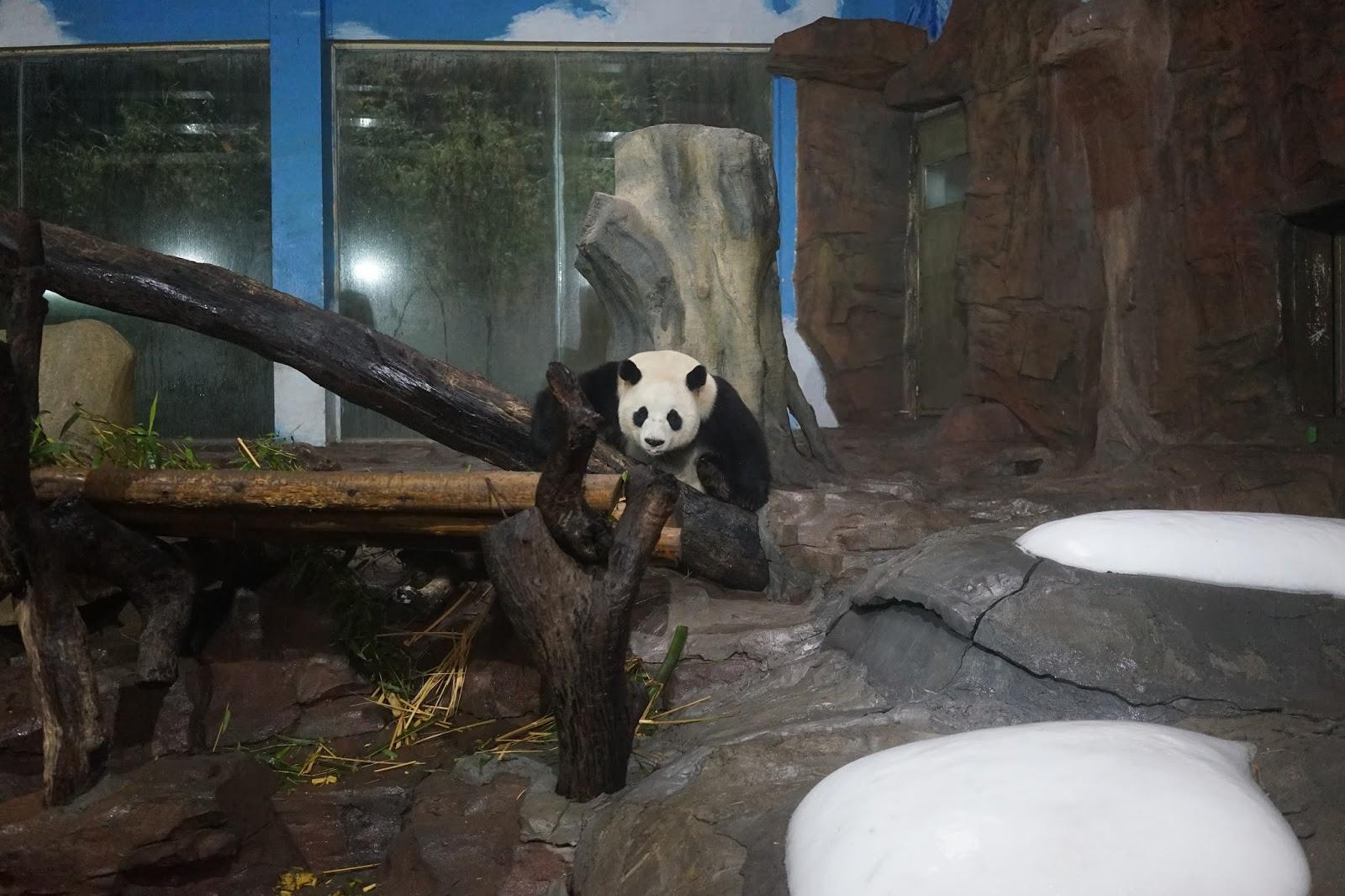 panda chimelong safari park