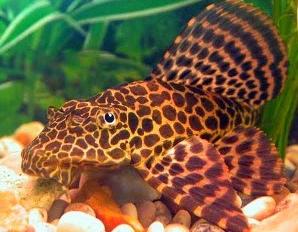 Ikan Sapu-Sapu Hias Leopard