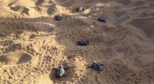 Οταν τα πρώτα χελωνάκια καρέτα του Κυπαρισσιακού κόλπου δεν βρήκαν τη θάλασσα