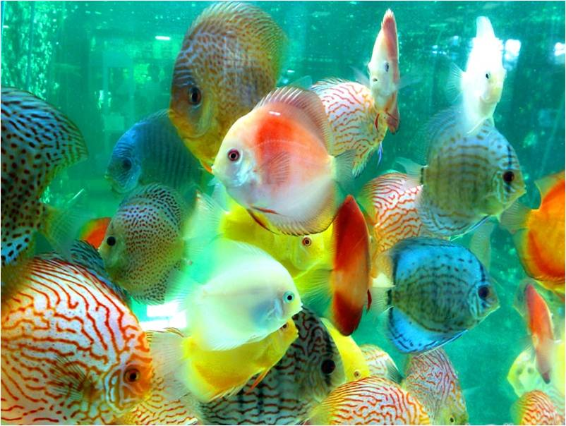 the life of animals discus discus belong to the genus symphysodon the