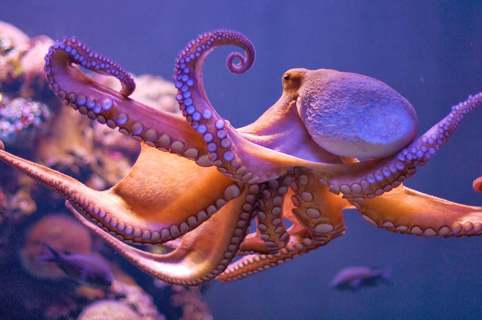 Ciencias de Joseleg: Excreción en los cefalópodos