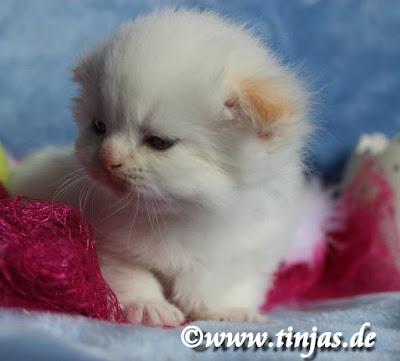 red point kitten Rasse : Highland Fold
