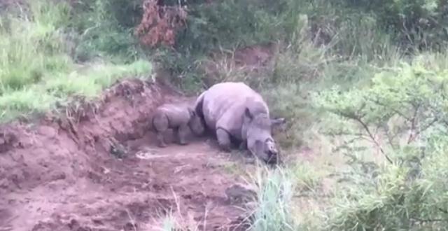 Un bebé rinoceronte intenta amamantarse de su madre asesinada por cazadores