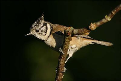 Herrerillo capuchino - Parus cristatus