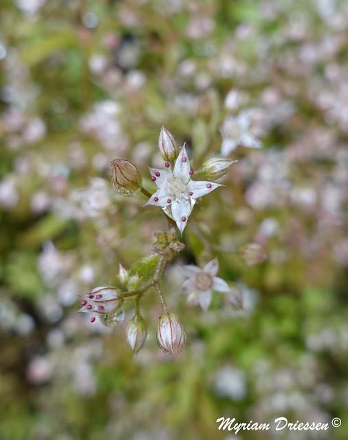 orpin blanc Sedum album Montagne Noire Tarn