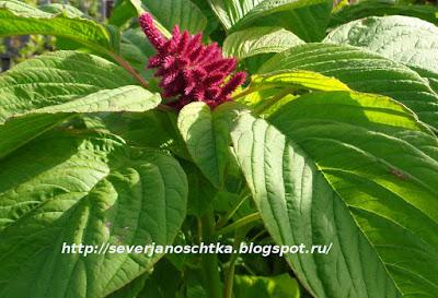 первое соцветие амаранта