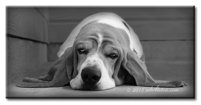Basset Hound lazing with his ears out beside him