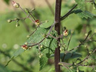 Scrofulaire à feuilles de germandrée - Scrofulaire scorodoine - Scrophularia scorodonia