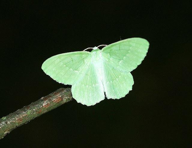 Grünes Blatt, Geometra papilionaria