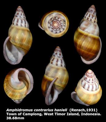 Amphidromus contrarius hanieli 38.68mm