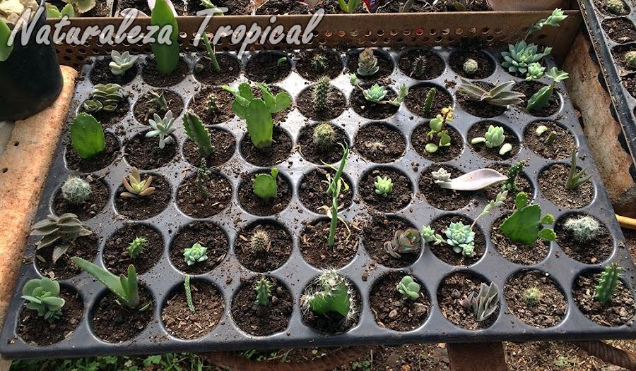 Bandeja de Cultivo o Bandeja para Semillero aprovechada para multiplicar cactus y otras suculentas