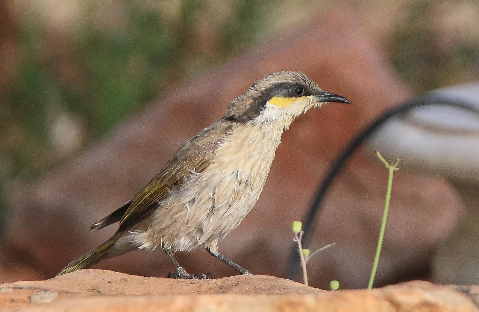 Richard Waring's Birds of Australia: Backyard Bird list ...